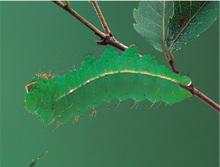 ヤママユ幼虫(背中を下にすると立体感が消えて目立たない)<写真・海野和男>