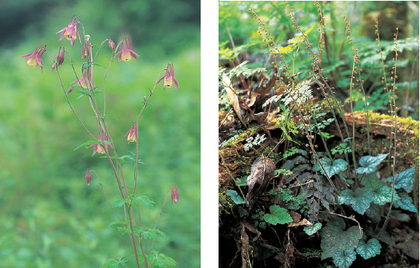 山の貴婦人,ヤマオダマキ。気品ある美しさです(左)じみ~な花ですが,アジのあるチャルメルソウ。見つけるとうれしくなります(右
