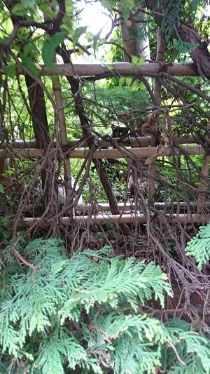 ねこは垣根のむこう側20170322