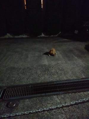 夜の駐車場のチャトラコ