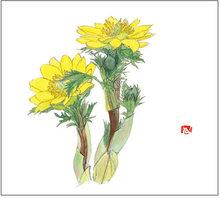 福寿草(フクジュソウ) 画:外山康雄