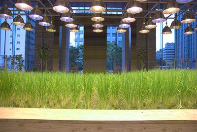 会場となったパソナグループ本部のエントランスにある水田。ほかにも社屋内でざまざまな作物が育てられており,見学者が後を絶たないとのこと。