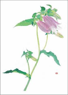 蛍袋(ホタルブクロ) 画:外山康雄