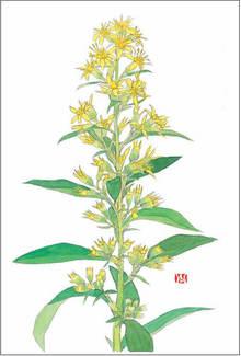 秋の麒麟草(アキノキリンソウ) 画:外山康雄